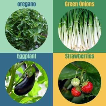 Grow-in-a-Greenhouse-in-Summer-eggplant-green_onions-strawberries-origano