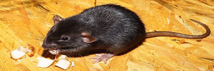 How-to-get-Rats-out-of-a-Shed