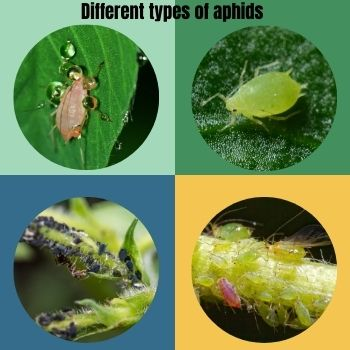 how-to-get-rid-of-red-aphid-yellow-aphid-black-aphid